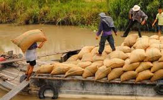 Cảnh giác với thủ đoạn tráo tiền khi mua lúa