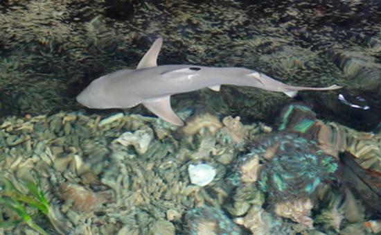 Cá mập vây đen sinh 3 con, 2 cá mập con đã chết
