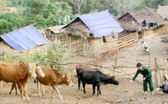 Hội Chữ thập đỏ Việt Nam tặng bò cho hộ nghèo 6 tỉnh miền núi Tây Bắc