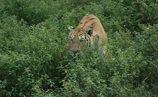 Việt Nam còn chưa tới 30 cá thể hổ trong môi trường hoang dã