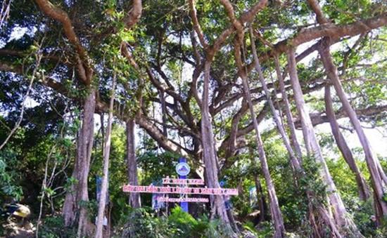 Cây đa Sơn Trà ở Đà Nẵng được công nhận cây di sản Việt Nam