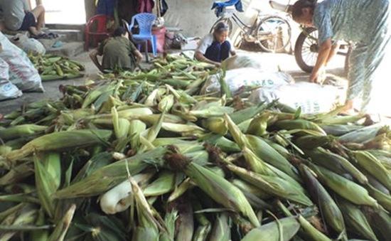 Tin đồn thất thiệt, người trồng bắp lao đao