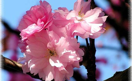 Hoa anh đào - Nét đẹp đặc trưng của Nhật Bản
