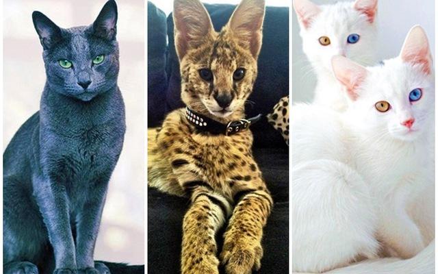 Chiêm ngưỡng những giống mèo đắt tiền nhất hành tinh | VTV.VN
