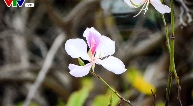Flowers of Northwestern mountains lend their beauty to Hanoi
