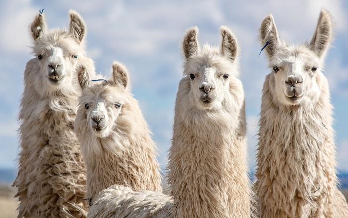 Lạc đà Alpaca có thể nắm giữ chìa khóa cho các phương pháp điều trị COVID-19