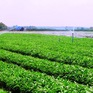 Trồng rau trái vụ - Hướng đi mới trong sản xuất rau an toàn