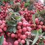 Bắc Giang: Xuất khẩu vải thiều chiếm trên 1/3 tổng sản lượng
