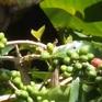 Nông dân bấp bênh vì giá cà phê xuống thấp