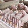 """Liệu có xảy ra tình trạng """"sốt"""" giá thịt lợn dịp Tết?"""