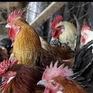 Campuchia phát hiện virus cúm gia cầm H5N1