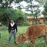 Quảng Bình: Hỗ trợ 1.000 con bò giống cho hộ nghèo vùng thiên tai