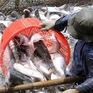 Rào cản trên đường đi của cá da trơn
