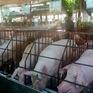 Đồng Nai tạm dừng hỗ trợ cho người chăn nuôi lợn