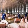 Ngân hàng chính sách Hà Tĩnh hỗ trợ người chăn nuôi lợn
