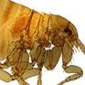 Bệnh dịch hạch có nguy cơ bùng phát ở Mỹ sau hàng chục năm biến mất