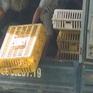 Hà Tĩnh: Tiêu hủy 150kg gà không rõ nguồn gốc
