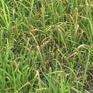 Hà Tĩnh cấp lúa giống cho vùng bị thiệt hại do bệnh đạo ôn