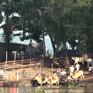 An Giang: Buôn lậu trâu bò qua biên giới vẫn diễn ra