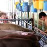 Bến Tre: Xử phạt hành chính cơ sở bơm nước vào lợn