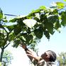 Nông dân Lâm Đồng trồng được giống cà chua thân gỗ
