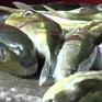 Vẫn tiềm ẩn nguy cơ ngộ độc từ cá nóc