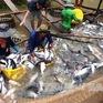 Muốn nuôi cá tra phải có mã số nhận diện