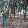 Giá cây giống cao su tăng mạnh