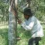 Phú Yên: Hàng trăm cây cao su gần thu hoạch bị chặt phá