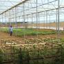 Thay thế cây cao su trên vùng gò đồi Quảng Bình