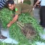 Liên tiếp phát hiện và thu giữ nhiều cây cần sa tại Vĩnh Long
