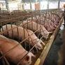 Người chăn nuôi lợn giảm lỗ hơn 2.000 tỷ đồng