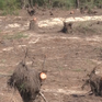 Quảng Ngãi: Phá rừng dương chắn sóng để... trồng rau