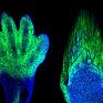 Chú chuột có bàn chân xanh nhờ kỹ thuật biến đổi gene