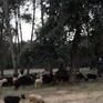Tây Ban Nha sử dụng dê để ngăn cháy rừng