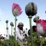Sản lượng thuốc phiện ở Afghanistan tăng kỷ lục