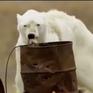 Gấu trắng Bắc cực và những ảnh hưởng đau lòng từ biến đổi khí hậu