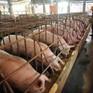Sau lũ, giá lợn miền Bắc giảm thấp