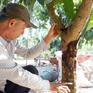 Hậu Giang trước nguy cơ mất mùa trái cây Tết