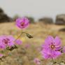 Sự hồi sinh mạnh mẽ của hoa dại trên sa mạc chết tại Chile