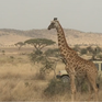 Hươu cao cổ có nguy cơ tuyệt chủng trước vấn nạn săn bắt lấy thịt