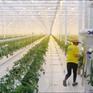 Trồng cà chua trên băng vĩnh cửu tại Nga