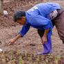 Cách khắc phục cây vụ Đông sau mưa ngập