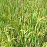 Khó xử lý dịch bệnh lùn sọc đen hại lúa tại Nghệ An