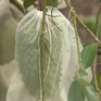 Nông dân Sóc Trăng sản xuất trà mãng cầu