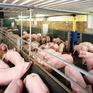 """""""Giải cứu"""" ngành chăn nuôi: Cần giải pháp căn cơ và dài hạn?"""