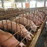 Chính phủ chỉ đạo một số giải pháp nhằm phát triển chăn nuôi