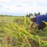 Hàng trăm ha lúa ở Đồng Tháp bị ngập