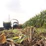 Nông dân Sơn La kiếm bộn tiền từ trồng ngô sinh khối