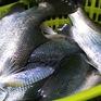 Hải Phòng: Đảm bảo chất lượng, khẳng định thương hiệu cá vược